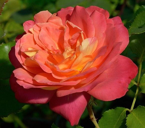 Midsummer сорт розы Тантау фото