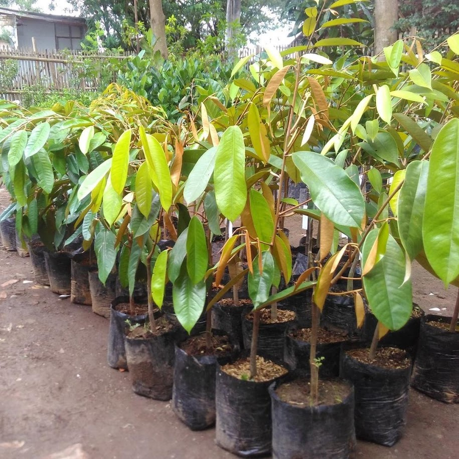 Terlaris Bibit durian Montong super istimewa bibit hasil okulasi cepat berbuah Jakarta