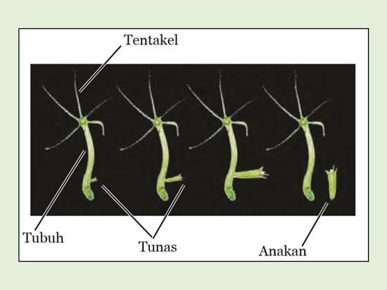 hiydra berkembang biak dengan tunas