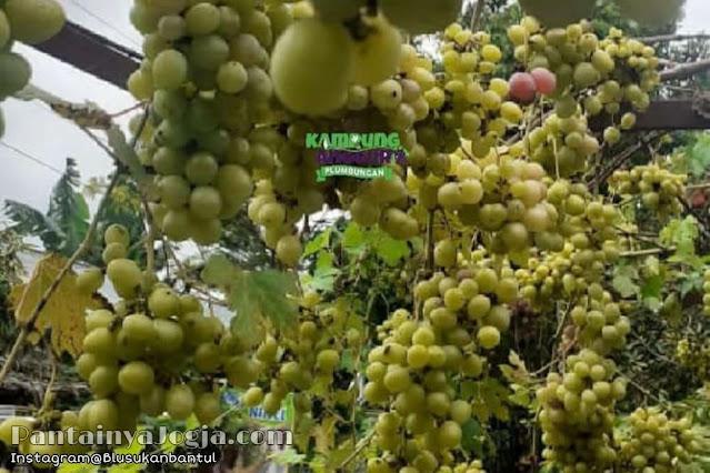 Lokasi Wisata Kampung Anggur Plumbungan  Bantul Jogjakarta