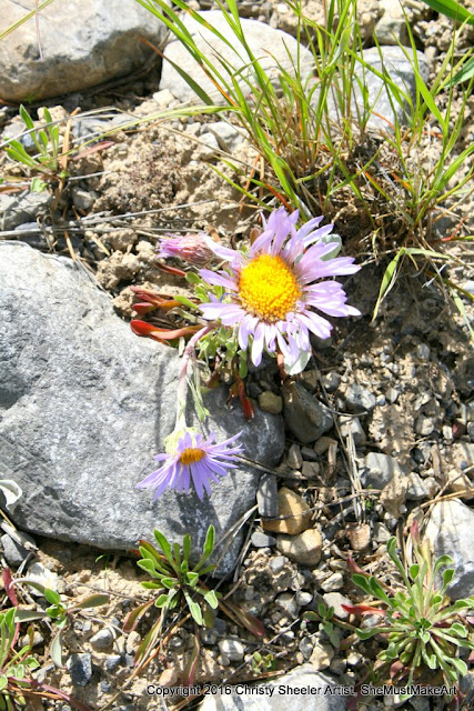 The thick-stem daisy has pale lavender petals and a yellow center, with short stems, they grow closer to the ground in the rocky places.