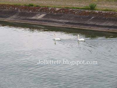 Swans on the Rhine 2019 https://jollettetc.blogspot.com