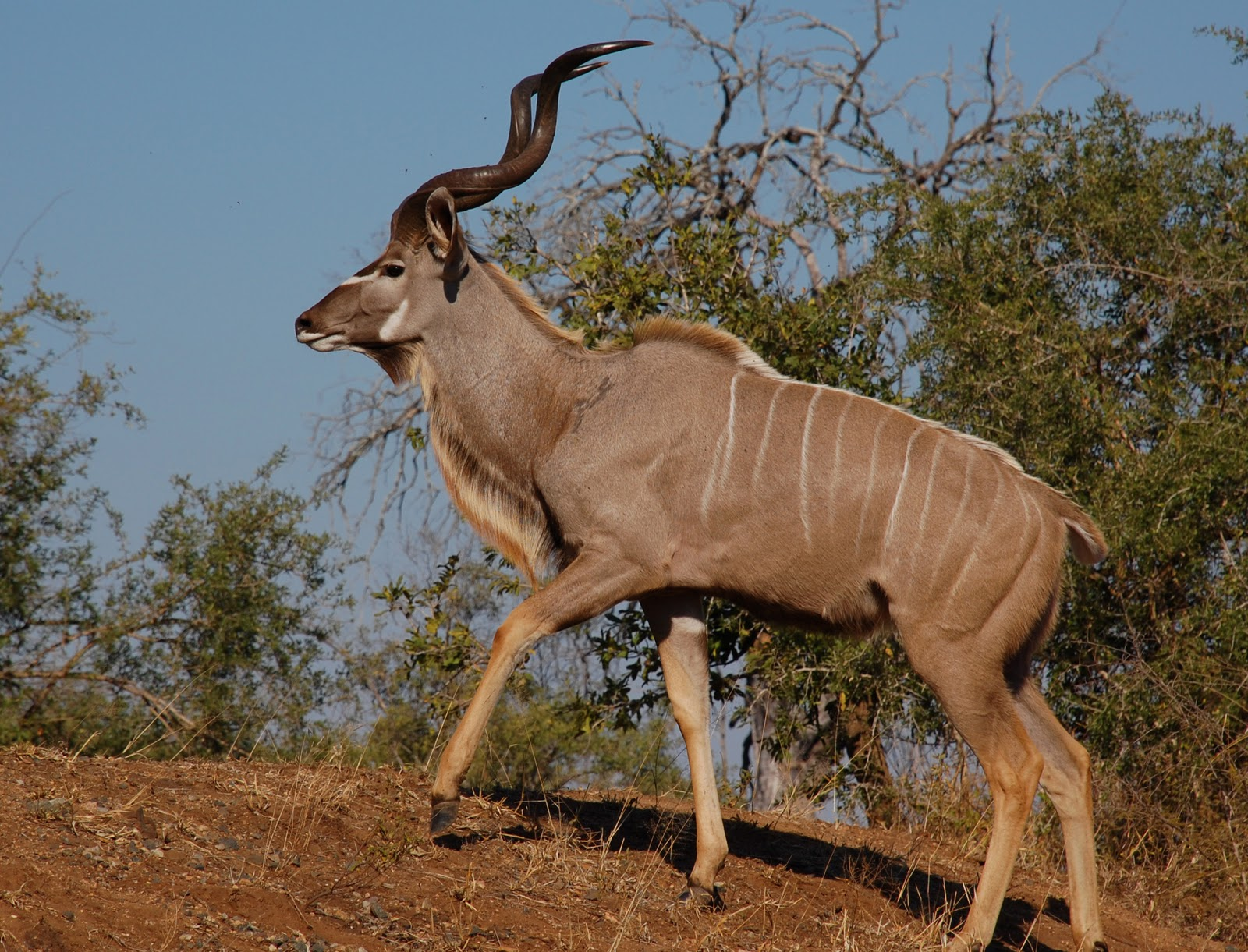 ENCYCLOPEDIA OF ANIMAL FACTS AND PICTURES: KUDU