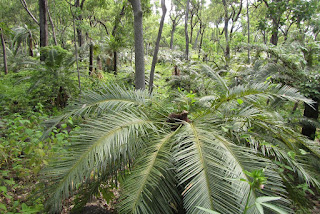 Cycad understorey in eucalypt woodsland