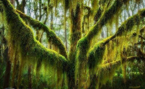 أشجار الزان القطبي في ولاية أوريغون الأمريكية