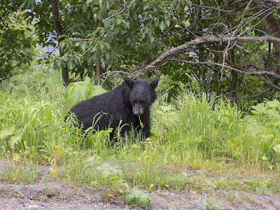 This Black Bear is Enjoying His Meal of Dandelions