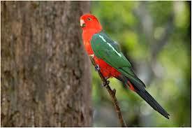 Papagayo australiano: Alisterus scapularis