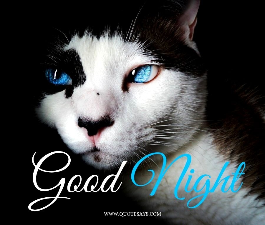 Good Night cat with white color and Blue Eyes