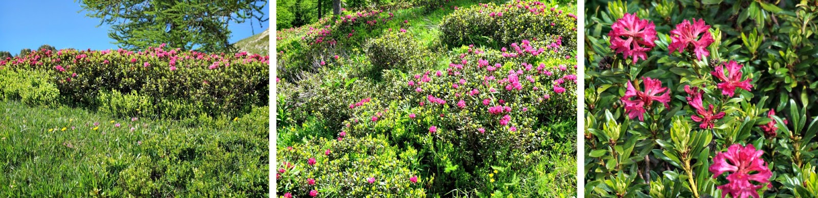 Rhododendrons in Isola 2000