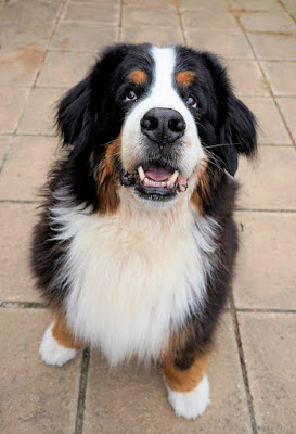 A happy Berner sits and waits for a treat. Dogs trained with rewards are more optimistic than those trained with aversive methods, new study shows.