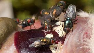 Las larvas aprovechan la materia muerta, no la viva