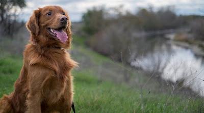 Irish setter golden retriever mix Temperament, Size, Adoption, Lifespan, Price
