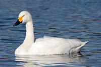 Tundra Swan (Bewick's) – Saitama, Japan – Jan. 2006 – photo by Maga-chan