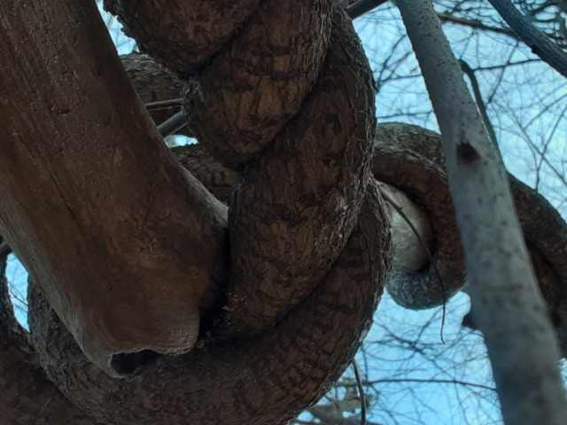 Two thick wooden vines on a tree, which twisted around each other in a double helix.