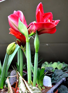 Hippeastrum_aulicum_Lily_of_the_Palace.J