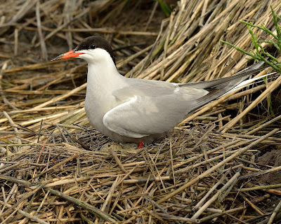 Common Tern nesting in wrack © Michael Kilpatrick