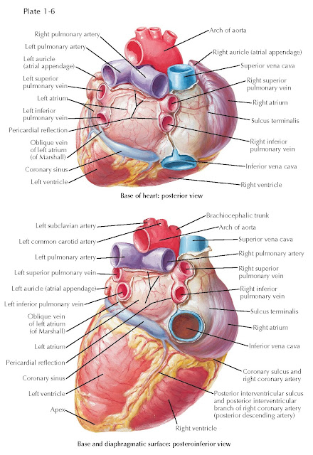 BASE AND DIAPHRAGMATIC SURFACES