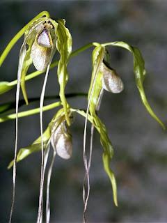Peruvian Ladyslipper orchids