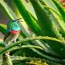 क्या आप एलोवेरा के फायदे और नुकसान जानते है - Aloe Vera Benefits and Side Effects