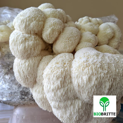 Lions Mane Mushroom Recipe