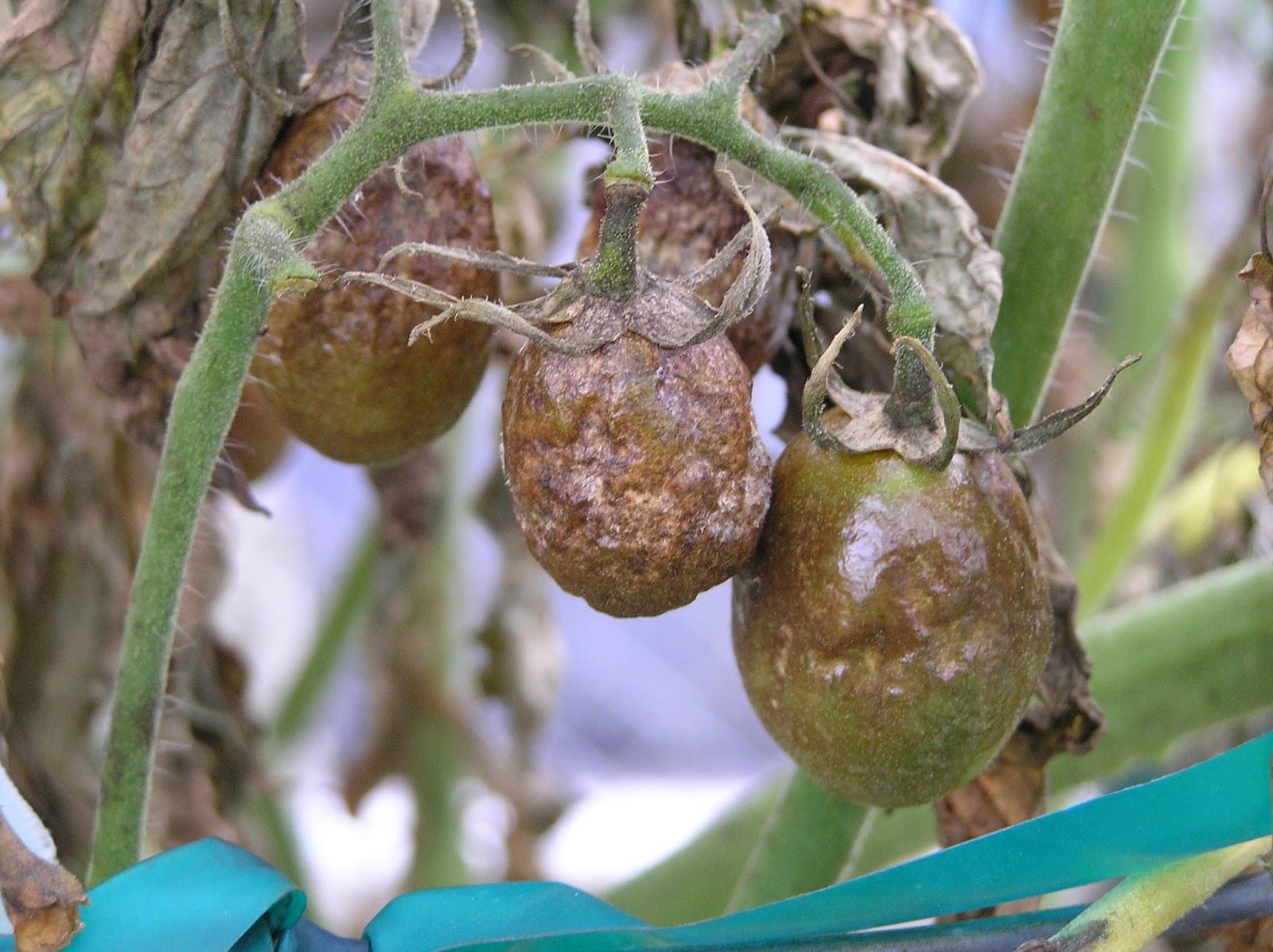 phytophthora tomaat moestuin volkstuin