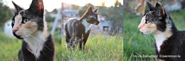 Savage Cat Food|calico cat