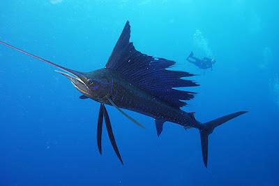 yelken balıgı(yelkenli balık)