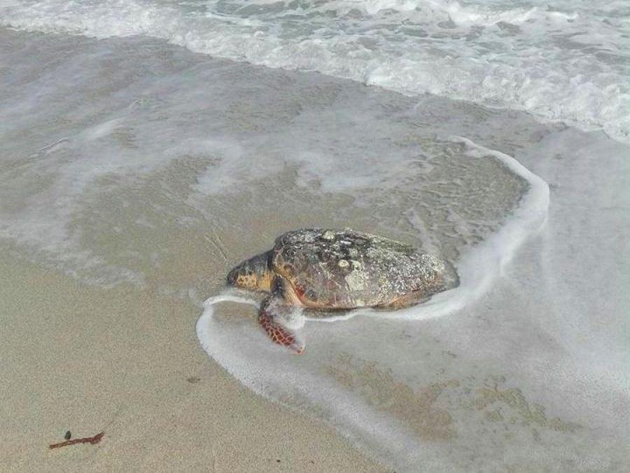 Νεκρή χελώνα καρέτα - καρέτα εντοπίστηκε στη Χαλκιδική