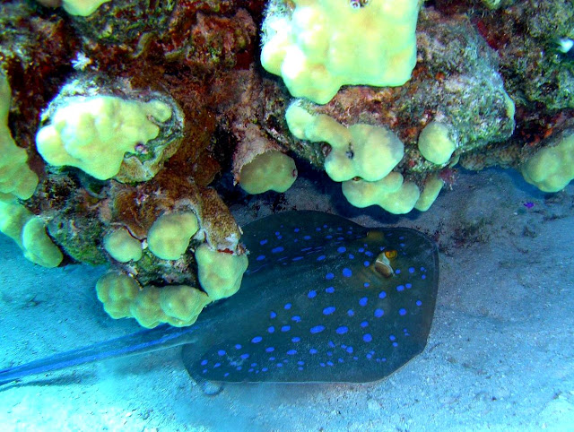bluespotted stingray, reef, egypt, red sea