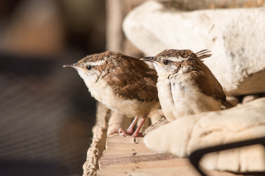 Carolina Wren fledglings