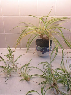It's easy to make dozens of Spider Plants