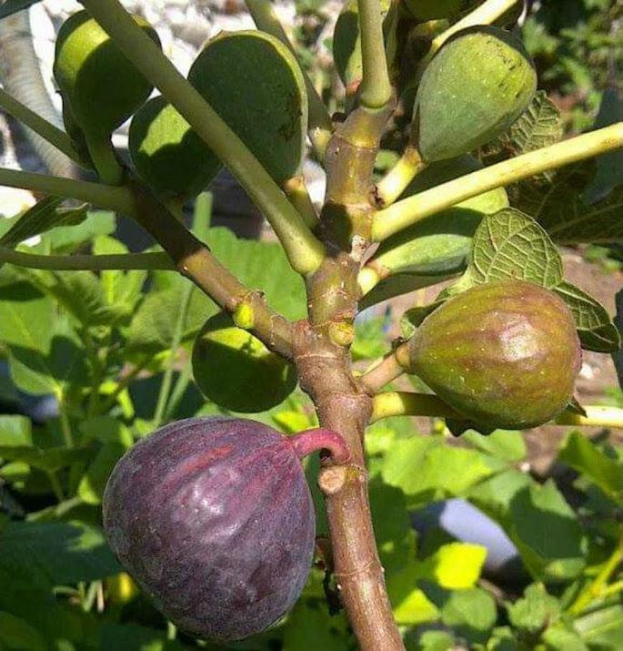 Bibit buah tin green yordan cangkok Mojokerto
