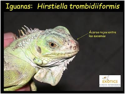 Hirstiella trombiidiformis en Iguana
