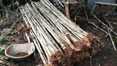 Jual Bambu Jepang di Tangerang - SuryaTaman