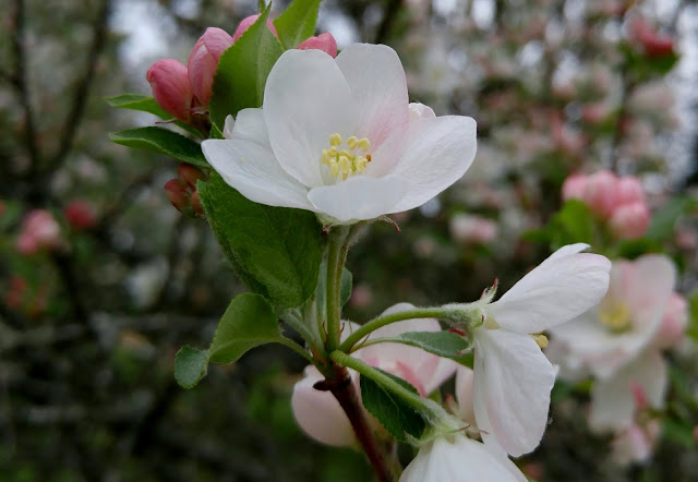 Apple tree blossom #spring #blooming #trees
