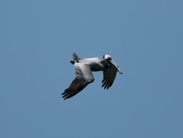 Brown Pelican - Florida