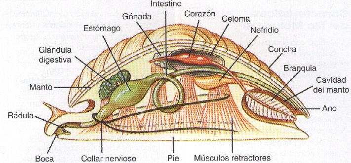 Moluscos sistema digestivo y alimentaci n - Estructura caracol ...