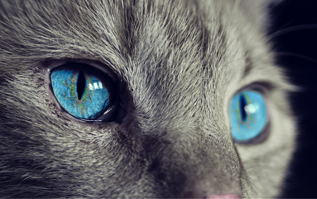 Close up of grey cat with blue eyes