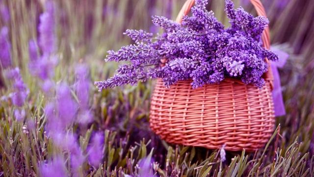 hoa mau tim oai huong