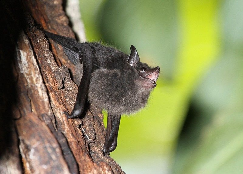 Estudo revela que bebês morcegos balbuciam como bebês humanos