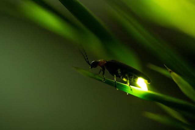 lucciola luminosa