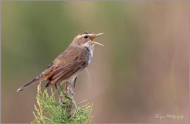Bluethroat male