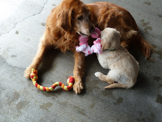 Gaya, a golden retriever, top, mentors a golden retriever puppy as they snuggle and play together with a pink toy.