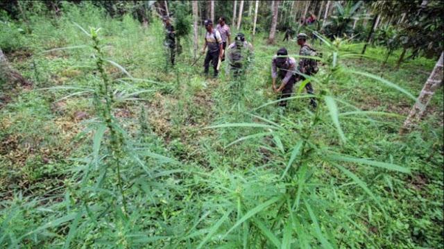 Ladang Ganja Ditemukan Polisi di Pariaman