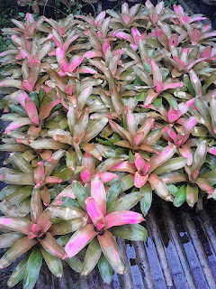 Jual Tanaman Hias Bromelia Pink Grass