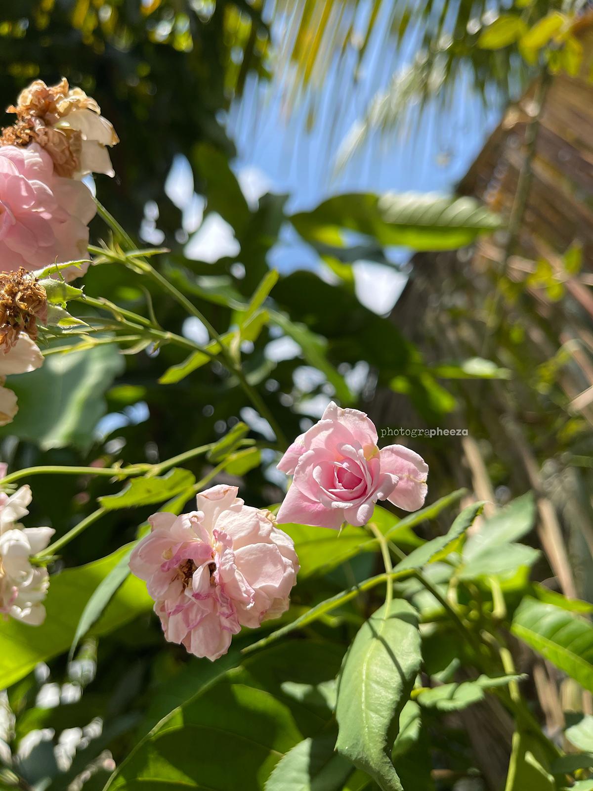 Bunga ros kampung
