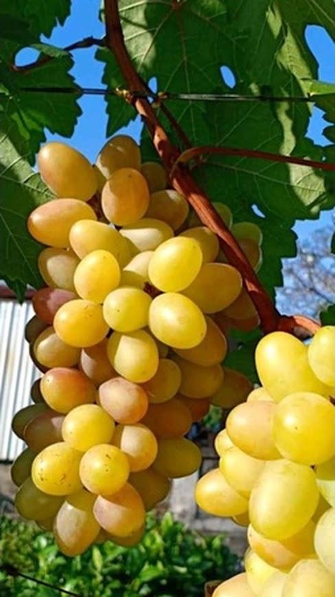 Bibit Anggur import transfigurasi Murah Mataram