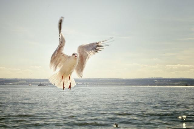 طائر النورس صور النورس