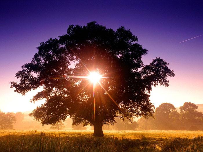 pokok senja