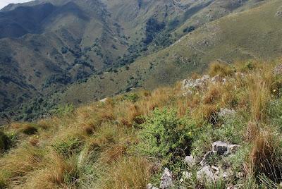Zoniopoda serrana